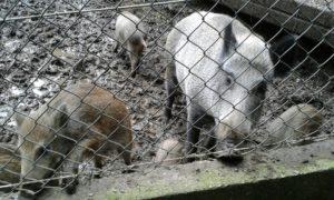 Vorsicht ist geboten bei den Wildschweinen
