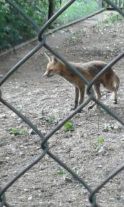 Den Fuchs vor die Linse zu bekommen, war schon ein besonderes Glück